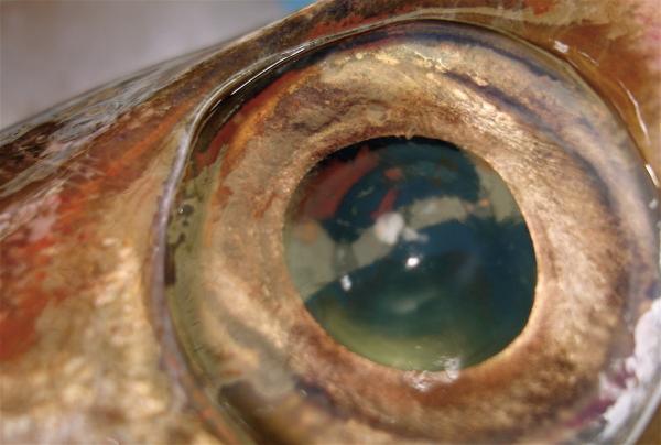 Le sommeil des poissons un article d 39 for Poisson yeux miroir